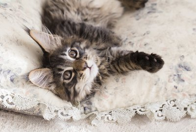 How to Identify a Maine Coon