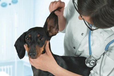 How to Get Fleas Out of a Dog's Ears
