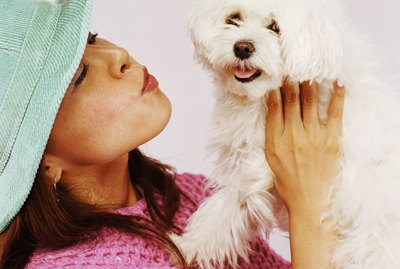 How to Groom a Maltese Dog's Face and Avoid Tear Stains