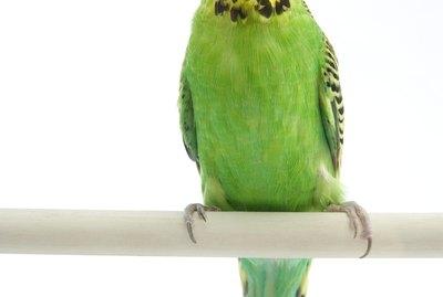 Parakeet Nesting Behavior