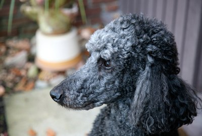 Different Haircuts for Toy Poodle Puppies