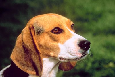 How to Minimize the Smell of Beagles