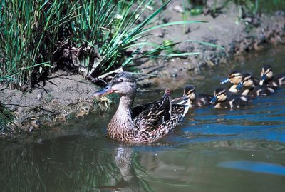 The Life Cycle of Baby Ducks