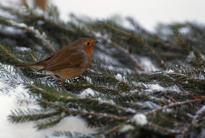 When Do Robins Leave to Migrate in Michigan?