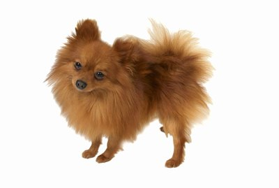 How to Make a Pomeranian's Hair Grow Better