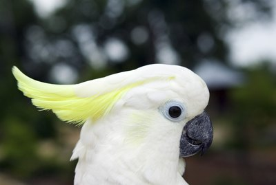 What an Umbrella Cockatoo Can & Can't Eat