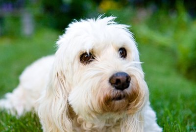 Hair Types & Grooming for a Goldendoodle