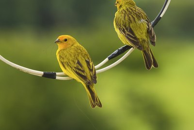 What Fruits Can Canaries Eat?