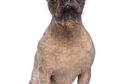 List of Short-Hair Dog Breeds