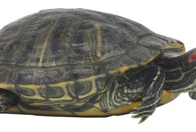 Red Ear Slider Turtle Skin Is Peeling
