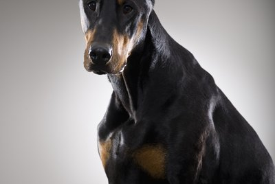 How to Live With a Doberman Pinscher