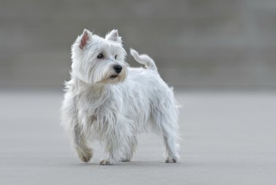 How to Keep Your Westie White