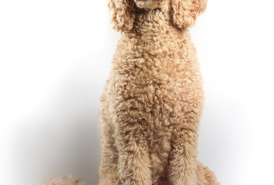 Types of Doodle Dogs