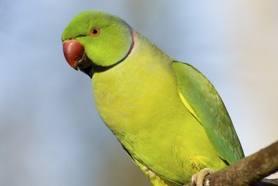 What Fruits & Vegetables Can Parakeets Eat?