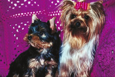 How Can I Tell If My Yorkie Puppy Will Have a Wavy or Straight Coat?