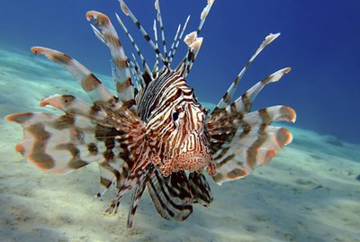 How to Identify a Male Lionfish From a Female