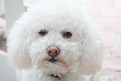 Home Remedies for Dog Tear Stains