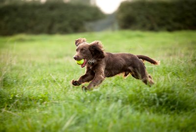Boykin Spaniel Dog Breed Facts & Information