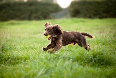 Boykin Spaniel Dog Breed Facts & Information