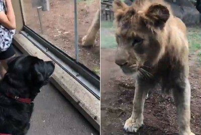 Brave Service Dog Stared Down A Pair Of Lions Who Were Up To No Good