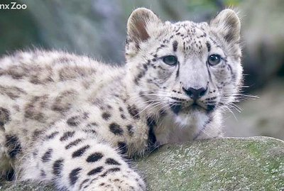 Bronx Zoo Introduces Snow Leopard Cub And We're In L😻VE