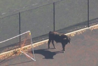 Escape From Moo York: Bull Running Free In Brooklyn Makes Tuesday Not So Boring