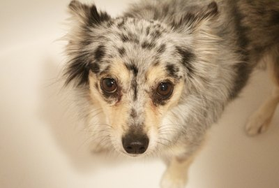 How to Dry Shampoo a Dog or Cat