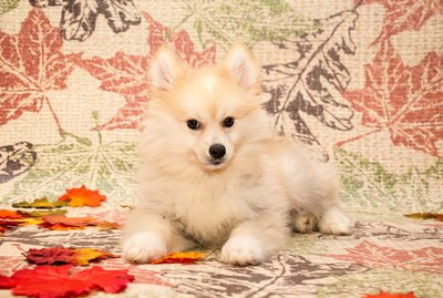 Pomeranian Husky Dog Breed Facts & Information
