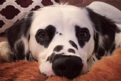 Dalmatian With Heart-Shaped Eyes Will Make You Fall In Love At First Sight