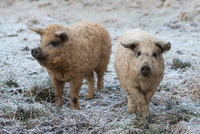 Stop Everything & Look At These Fairy Tale Piggies With Curly Hair