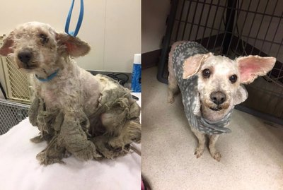 Neglected Dog With Matted Coat Gets Desperately Needed Haircut & Sweater Makeover