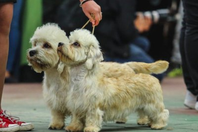 Dandie Dinmont Terrier Dog Breed Facts & Information
