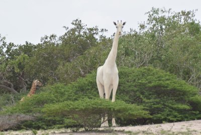 If You Think This Bright White Giraffe Is Unusual, Then Check Out Her Baby