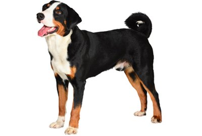 Appenzeller Sennenhund Dog Breed Facts & Information