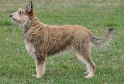 Berger Picard Dog Breed Facts & Information