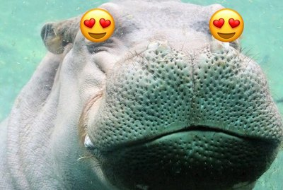 Single & Ready To Mingle: Fiona the Hippo Is Being Courted by a Texas Suitor