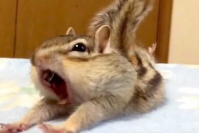 This Rescued Chipmunk Discovering Fresh Sheets Is Everything