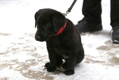 What Should Canada Name This Labrador Puppy?