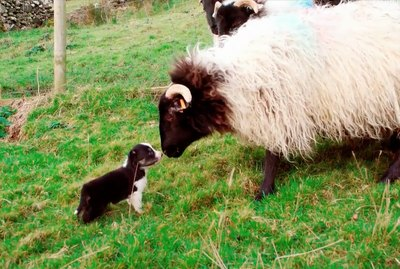 Watch As 4-Week Old Border Collie Puppies Learn To Herd Sheep For The First Time