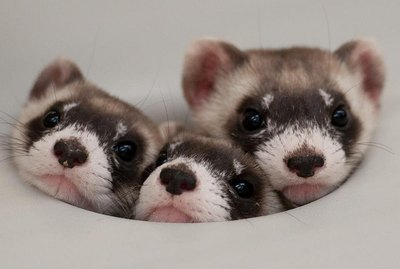 25 Ferrets Who Will Make You Wish You Had a Ferret
