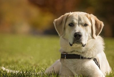 Akbash Dog Breed Facts & Information