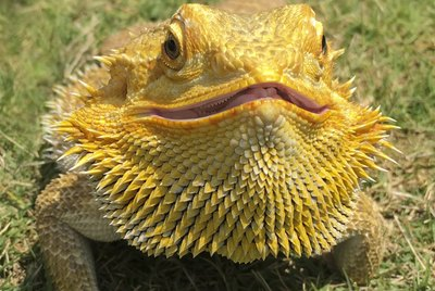 How to Tell the Age of a Bearded Dragon