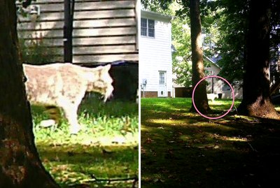 People Are Freaking Out Over Whether This Is A Cat Or A Cougar