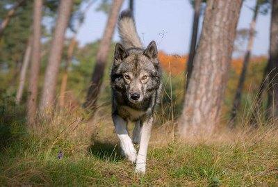 Tamaskan Dog Breed Facts & Information