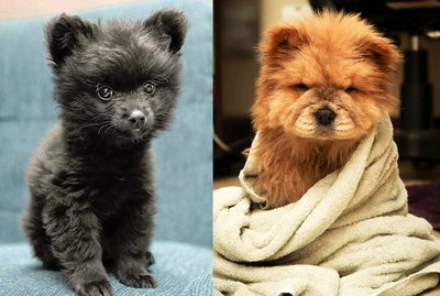 23 Dogs Who Might Be Bears In Disguise