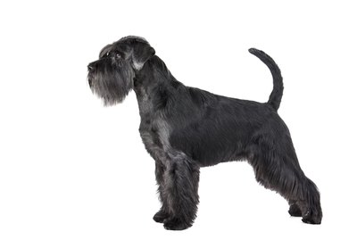 Giant Schnauzer Dog Breed Facts & Information