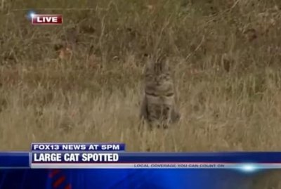 House Cat Confused For Cougar Crashes News Broadcast At The Exact Right Moment