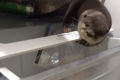 Hungry Otter Rooting Around Fridge For Late Night Snack Is All Of Us