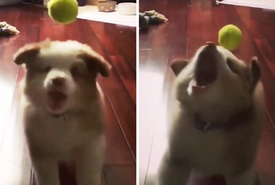 This Pupper Wins At Life After Failing To Catch Tennis Ball