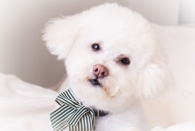 How to Remove Tear Stains on a Bichon Frise